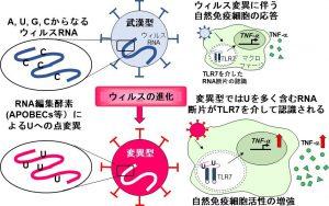 変異種による自然免疫活性化の仕組み